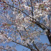 桜の老齢化と病気の為、老木伐採と若木植樹を進めていてリニューアル中です