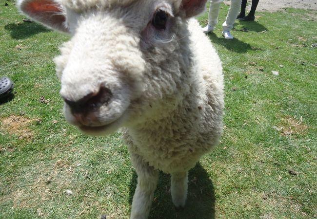 羊とふれあえます。