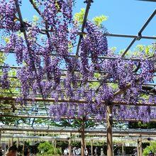 濃い紫で房の短い藤
