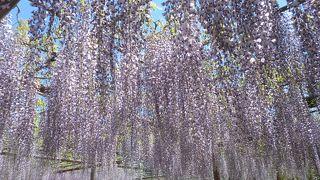 藤の多さと種類は圧巻