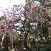 しだれ梅と早咲きの桜。