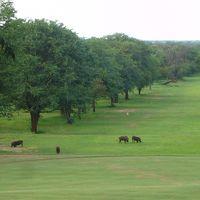 敷地内のゴルフ場にいるイボイノシシ