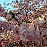 施設内の桜が綺麗でした