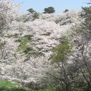 竜王山の山頂には1万本の桜があり、山頂がピンク色で埋め尽くされていました。