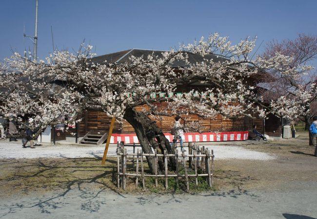 越生梅林梅祭り