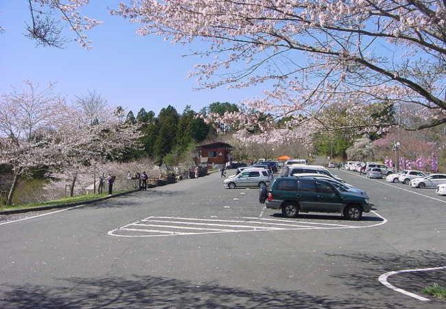 中腹から頂上まで桜があります