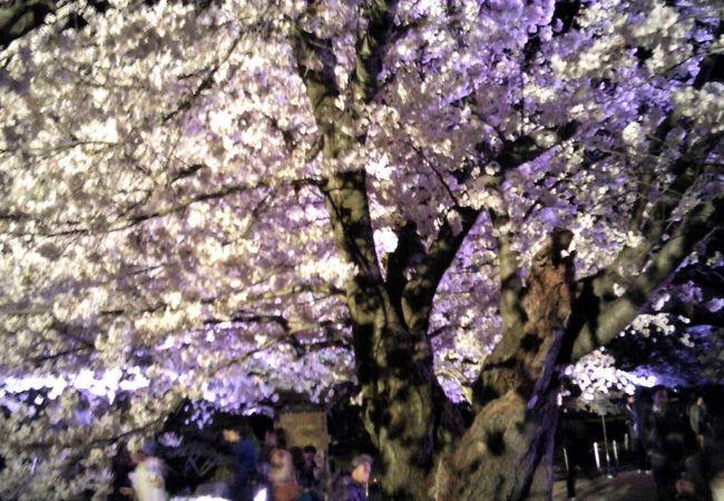 花あかり 姫路城夜桜会