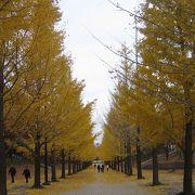 イチョウ並木の黄葉が綺麗です