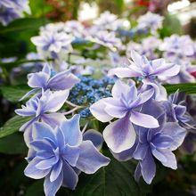 美しい紫陽花たちに出会えます♪
