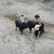 夏の闘牛大会は暑いです。