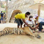 トラと触れ合ってきました