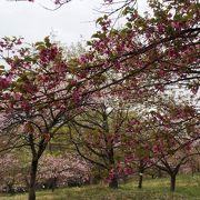 通り抜けの桜2014年