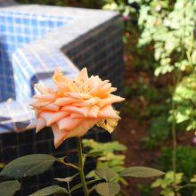 中庭に咲いていたバラ。