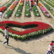 菜の花とチューリップの競演