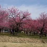 珍しい花桃のお花見ができる。