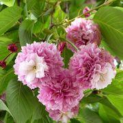 かわいい桜のお花