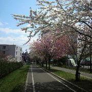 今は桜も見ごろのサイクリングロード