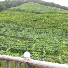 テラスから見えるブドウ畑