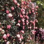 綺麗なバラがたくさん