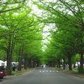 写真:北海道大学イチョウ並木