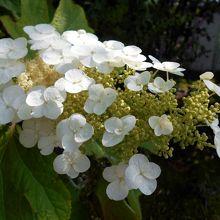 茶花野草苑に咲いていた「カシワバアジサイ」の花。
