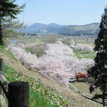 ワイルドで美しい桜の森が!