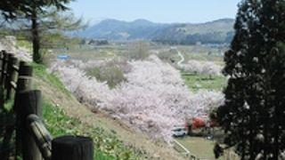 地元の方の桜の名所です