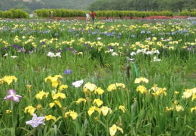 北潟湖畔花菖蒲園