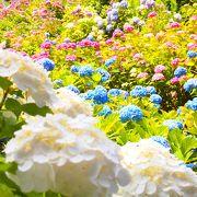 五万株の紫陽花