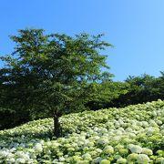 【2014権現堂】アナベル紫陽花は見頃!紫陽花は6/22頃までは楽しめそう。