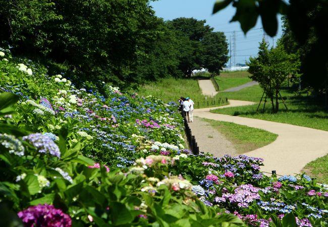 紫陽花のお花畑