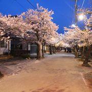日露戦争の戦勝記念に植えられたがいせん桜は岡山県で最も遅い時機に咲きます