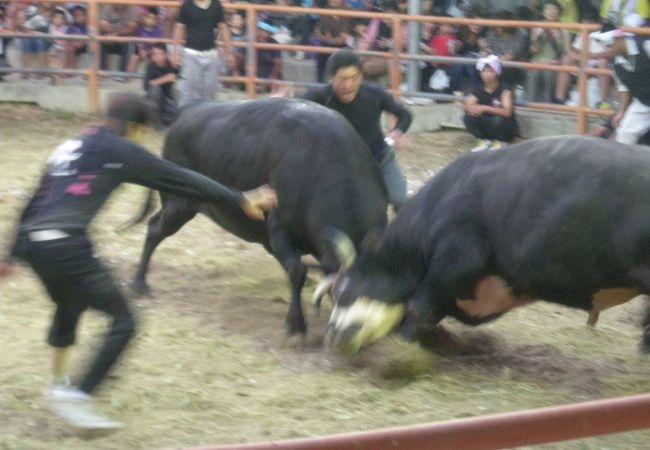 迫力がありました!「旧盆ナイター闘牛大会」~石垣~
