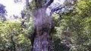 縄文杉を見にトレッキング