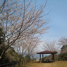 桜ももうすぐ満開