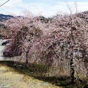古くから桜の名所として知られてきた長瀞の桜並木