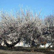 梅、桜は川越の自慢の川越春まつり
