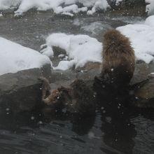 近くのお猿さんお気に入りの温泉