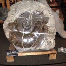 こんなに大きなアンモナイト化石、見たことないです