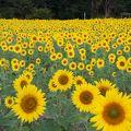 写真:榎前町のひまわり畑