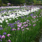 岩国吉香公園は菖蒲の名所