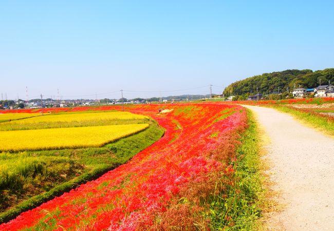 矢勝川堤の彼岸花
