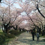 桜並木最高