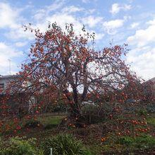 すぐ近くで見た柿の木。