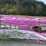 山の斜面に咲き誇る一面の芝桜!!