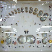 ガラスケース内に展示された、真珠貝の成長過程