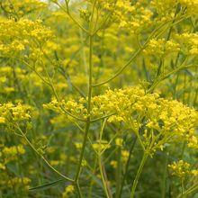 女郎花(オミナエシ)の黄色い花。