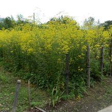 寺の前の女郎花の畑。背丈は高い。
