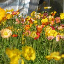 ハウス内はお花畑が広がります。