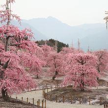 日本一のしだれ梅がずらり